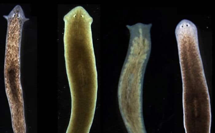 Las lamblias habitan en el intestino de la persona y muchos mamíferos