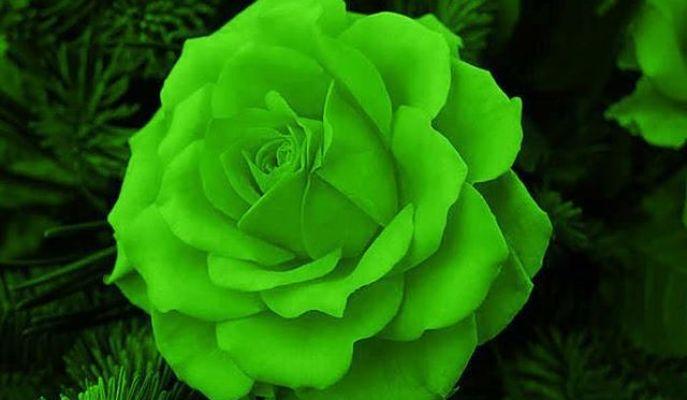 Colores De Rosas Y Su Significado - Elije El Ramo Perfecto