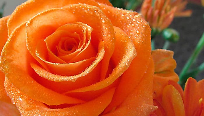 Colores de rosas y su significado elije el ramo perfecto - Color rosas significado ...