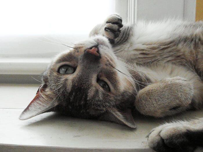 El celo en los gatos