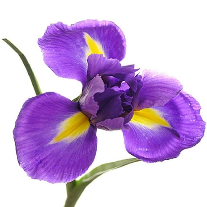 flor de la amistad de iris