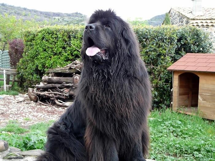 conoce las razas de perros grandes