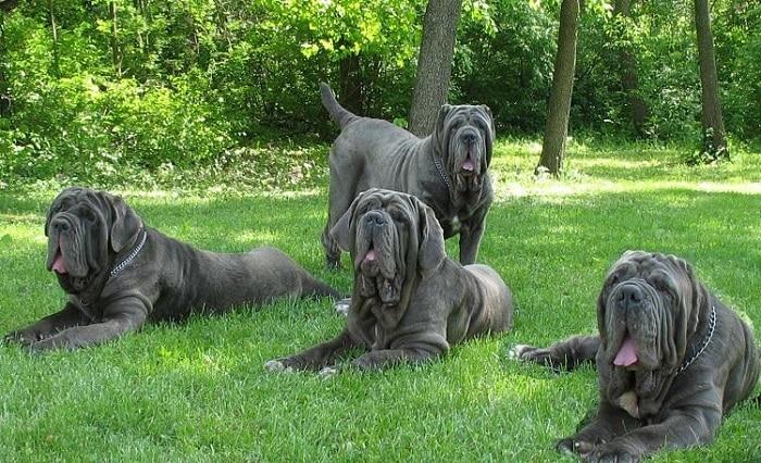 conoce cuales son las razas de perros grandes