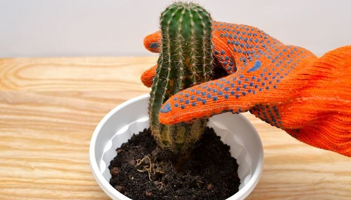 plantar un cactus