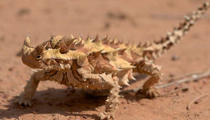 camaleon que viven en el desierto