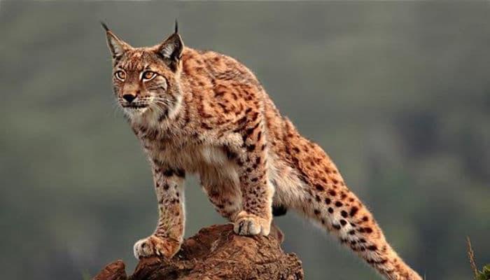 animales que se encuentran en extincion