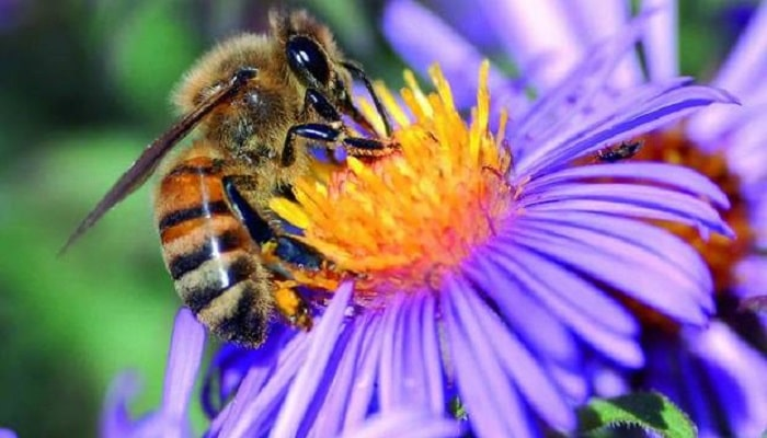 como se comunican las abejas