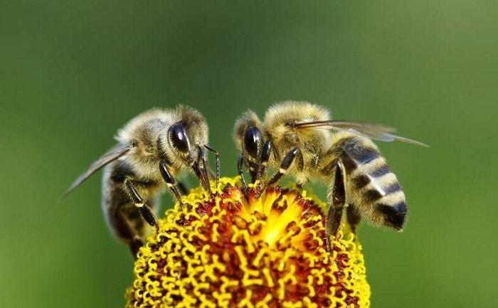 como se comunican las abejas obreras
