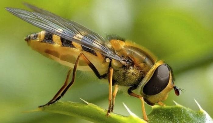 como se comunican las abejas africanas