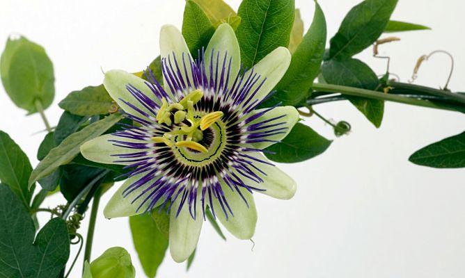 Pasiflora otra planta que actua como remedio natural para la ansiedad