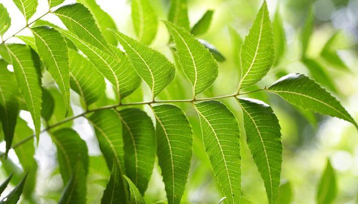 remedios caseros para las cucarachas con neem