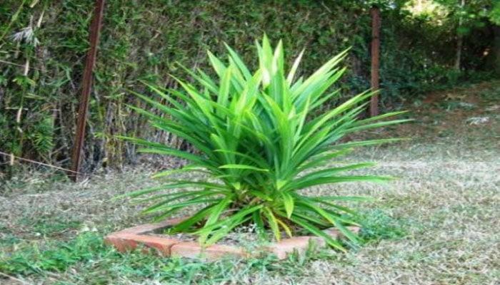 Remedios caseros para eliminar las cucarachas con hojas de pandan