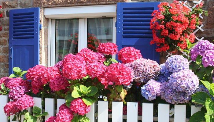 Como cuidar las hortensias tips y consejos para que florezcan - Cuidar hortensias exterior ...