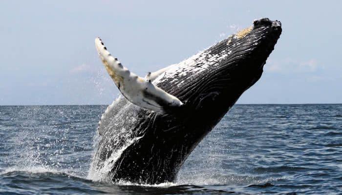 Alimentación de la Ballenas Azul