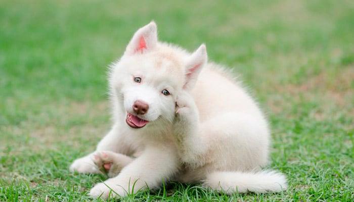 Remedios Caseros Para Dermatitis en Perros Tratamientos