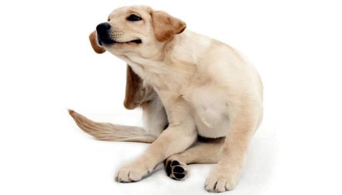 Remedios Caseros Para Dermatitis en Perros Naturales