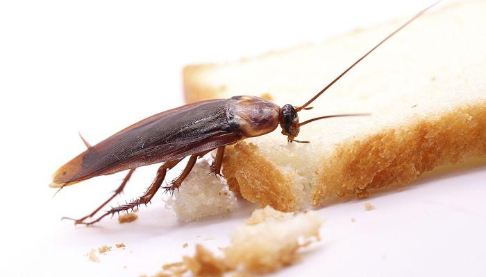 Remedios Para Matar Cucarachas Naturales