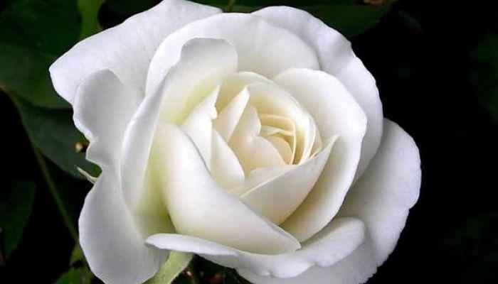 Colores de rosas y su significado elije el ramo perfecto - Significado rosas blancas ...