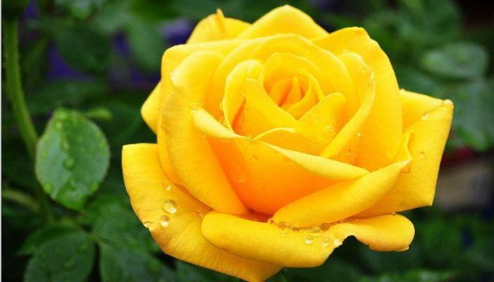 Colores De Rosas Y Su Significado Elije El Ramo Perfecto