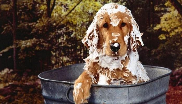 las pulgas de un perro