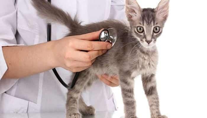 Reconocer Una Enfermedad Cardíaca En Gatos