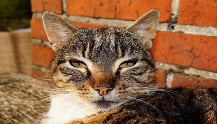 Tratar La Conjuntivitis En Gatos