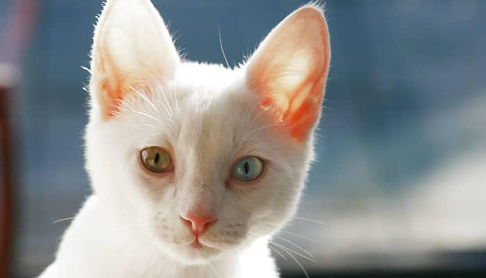 Cómo Tratar La Conjuntivitis En Gatos